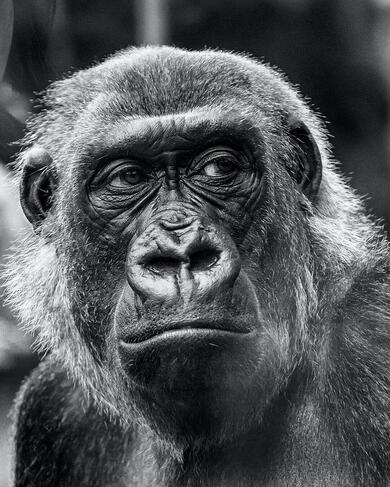 Bad business idea: Gorilla cuts